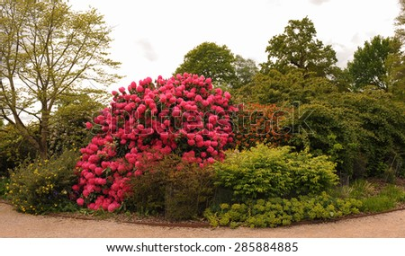 Pink Rhododendron in the Grounds of Dunham Massey, Cheshire, England, UK - stock photo