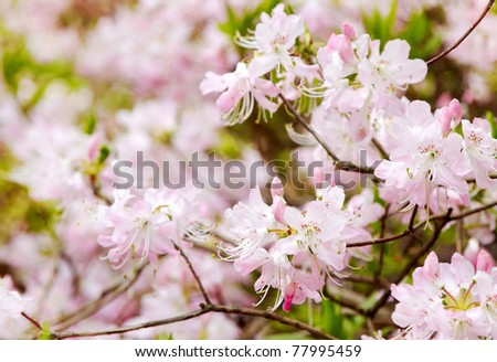 pink rhododendrons - stock photo