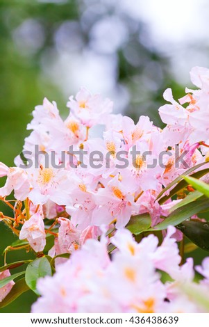 pink rhododendrons in bloom, clear summer day - stock photo