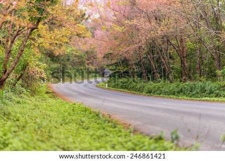 pink road of cherry blossom in doi angkang , Chiangmai , Thailand