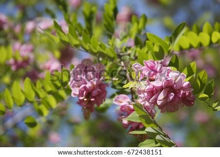 Pink robinia pseudoacacia tree flowers know stock photo royalty pink robinia pseudoacacia tree flowers know as black locust genus robinia family fabaceae mightylinksfo