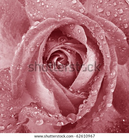 pink romantic dewy rose - stock photo