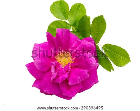 Pink rosa rugosa with leaves isolated on white - stock photo