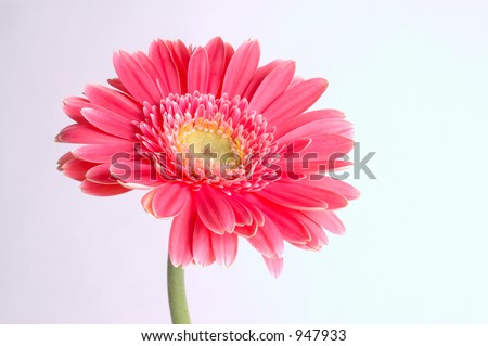 pink rose - stock photo