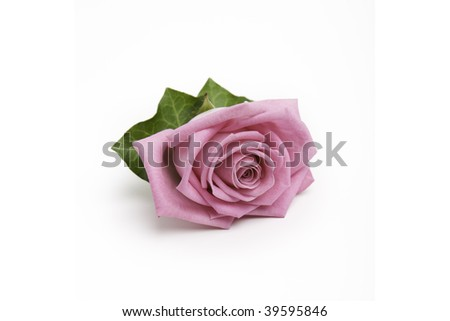 Pink rose alone on a white background - stock photo