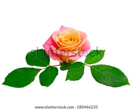 Pink rose and green foliage isolated on white background