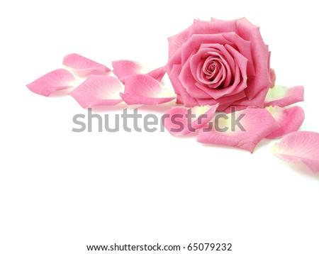 Pink rose and petals - stock photo