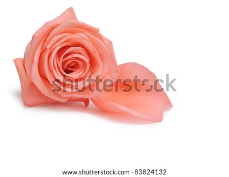 Pink rose and petals on white background - stock photo