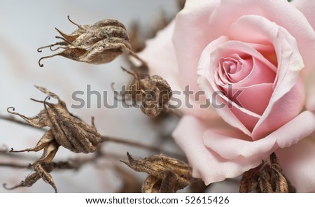 Pink rose and withered plant (shallow depth of field) - stock photo