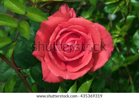 Pink rose at green background