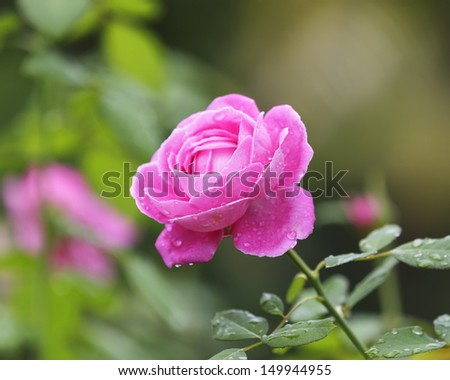 Pink Rose Blooming with water drop in Garden  - stock photo