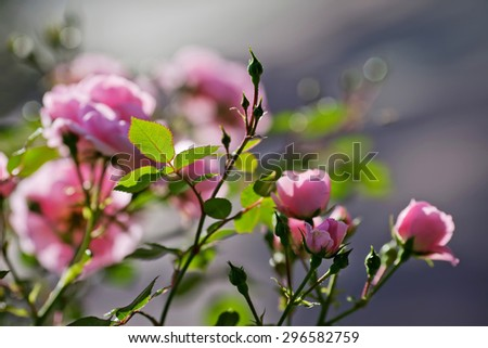 Pink rose bud in garden. Beautiful pink rose in a garden - stock photo