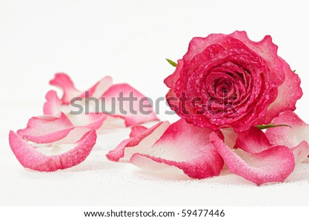 Pink rose bud with petals and water drops - stock photo