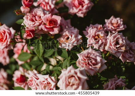 pink rose bush on a background of green shrubs. - stock photo