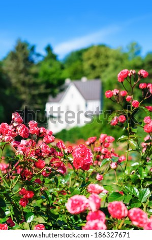 Pink rose bush on a house background - stock photo