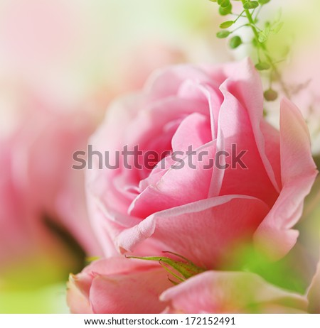 Pink rose.Canon Close-up Lens. Selective focus. - stock photo