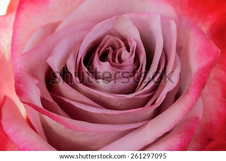 Pink rose closeup as background