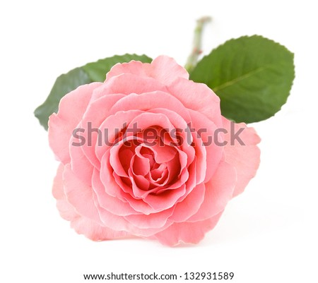 Pink rose closeup isolated on white background - stock photo