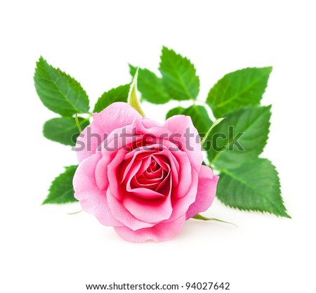 Pink rose closeup on a white background - stock photo