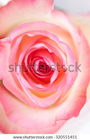 Pink rose closeup on white bright background - stock photo