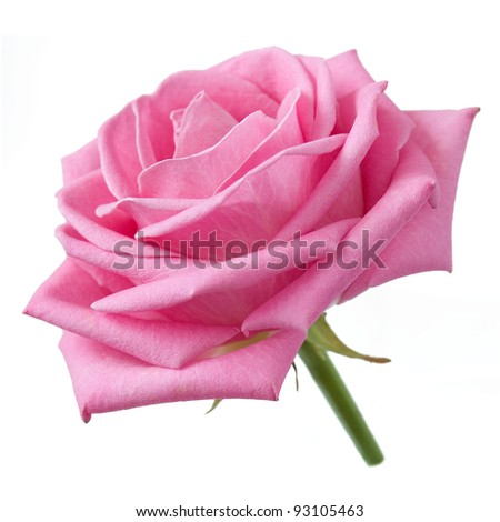 Pink rose closeup with leaves isolated on white
