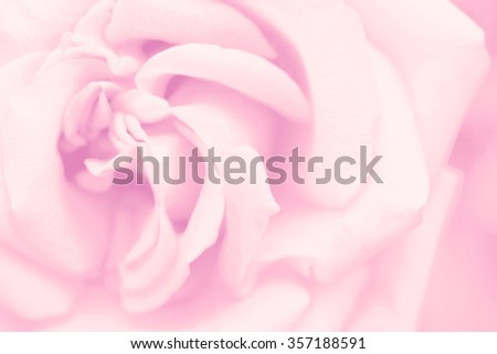 Pink rose flower background, macro