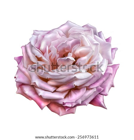 Pink Rose Flower isolated on white background - stock photo
