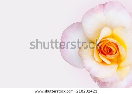 Pink Rose Flower on background with shallow depth of field and focus the centre of rose flower  - stock photo