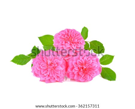 pink rose flower on white background.