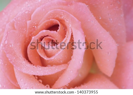 Pink rose flower with water drop