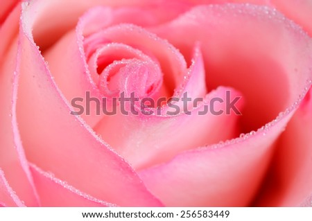 Pink rose flower with water drops