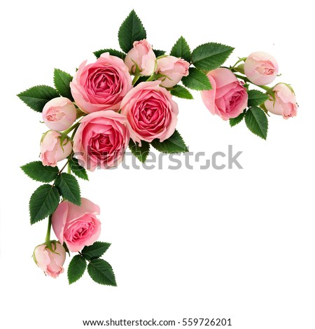 Pink Rose Flowers And Buds Circle Arrangement Isolated On White Flat Lay Top View