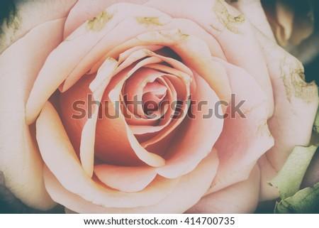 pink rose flowers background vintage color - stock photo