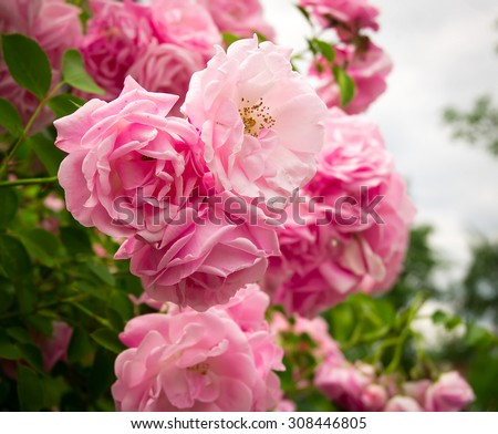 Pink rose flowers on the rose bush in the garden in summer - stock photo