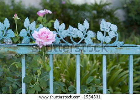 Pink Rose, Green Wrought Iron Fence - stock photo