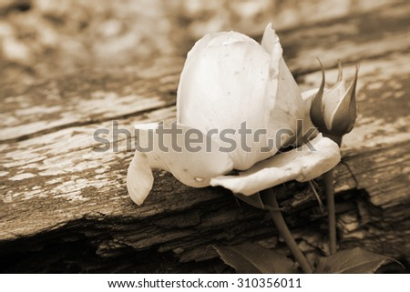 Pink rose Heritage, Variety of English roses in rustic garden. Sepia picture. - stock photo