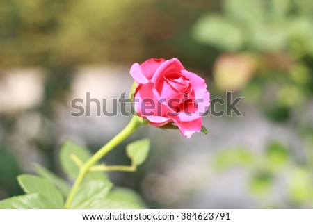 pink rose in a garden - stock photo
