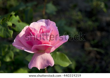 Pink rose in garden against green foliage backdrop. Pink rose banner. - stock photo