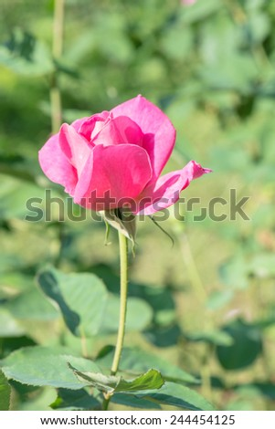 Pink rose in the public park, Thailand. - stock photo