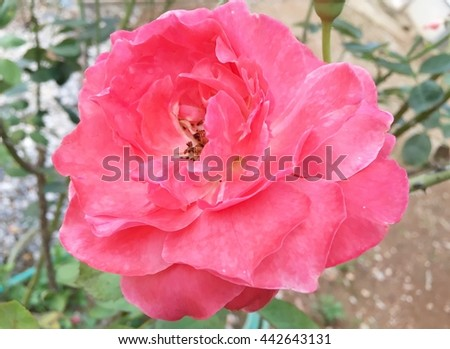 pink rose is beautiful