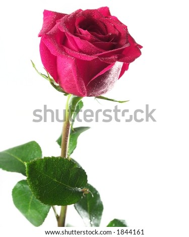 Pink rose isolated - stock photo