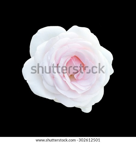 Pink rose isolated on  a black background.