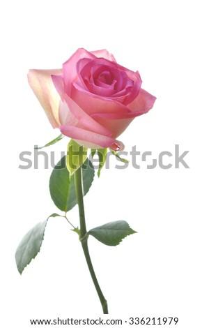 Pink rose isolated on white background - stock photo