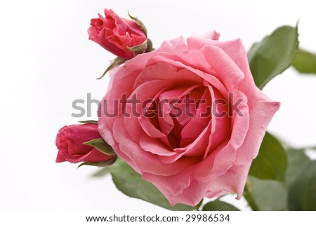 pink rose isolated with bloom - stock photo