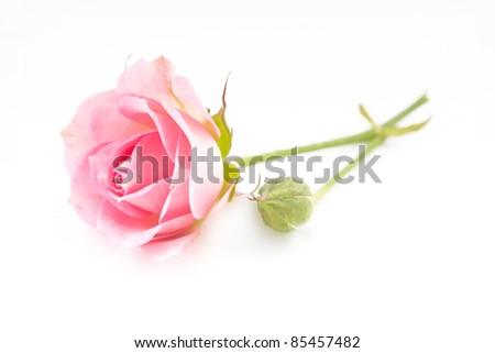 Pink rose isolated with button on white - stock photo