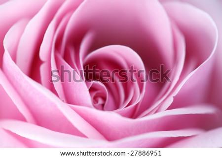 pink rose macro close up - stock photo