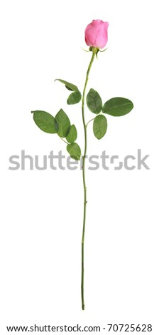 pink rose on a long stalk. on a white background. isolation - stock photo