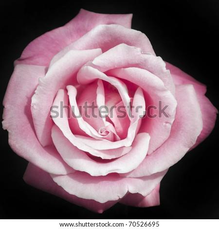 Pink rose on black background - stock photo