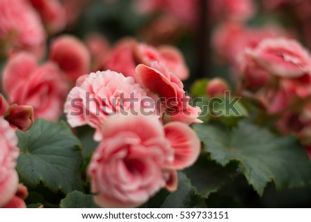 Pink rose on blur  nature background
