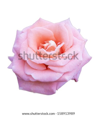 Pink rose on isolate background - stock photo